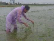 Hà Nội khắc phục hơn 3.250ha lúa bị ngập úng sau bão số 1