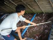 Cá điêu hồng tạo nên lợi thế trong xuất khẩu cá rô phi Việt Nam