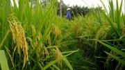 Anh hỗ trợ nghiên cứu lúa gạo cho Việt Nam và một số quốc gia châu Á