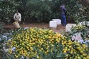 Nhiều người tiêu dùng vẫn bị mua nhầm cam Cao Phong