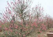 """Đào Nhật Tân """"cười sớm"""", người trồng đào không vui!"""