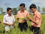 An Giang thực hiện lộ trình xây dựng vùng nguyên liệu lúa gạo