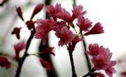 Sắp diễn ra triển lãm hoa Anh Đào Nhật Bản tại Hải Phòng