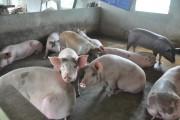 """""""Nóng"""" vấn đề giá thịt lợn"""