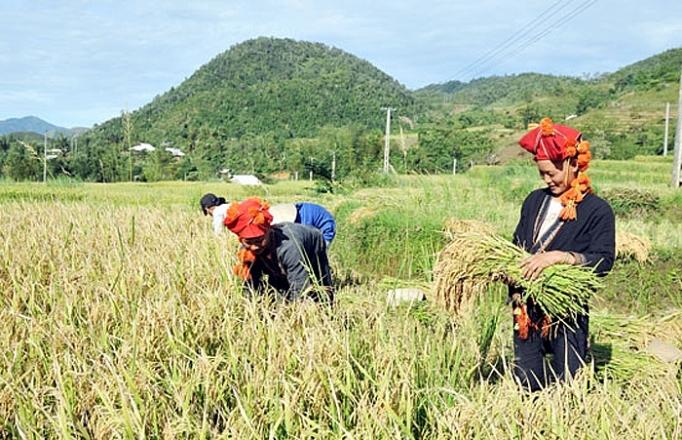 Gạo Séng Cù là một trong những sản phẩm OCOP nổi tiếng của Lào Cai