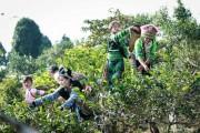 Yên Bái bảo tồn và phát triển vùng chè đặc sản Suối Giàng