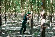 Giá cao su bật tăng, người trồng và doanh nghiệp phấn khích
