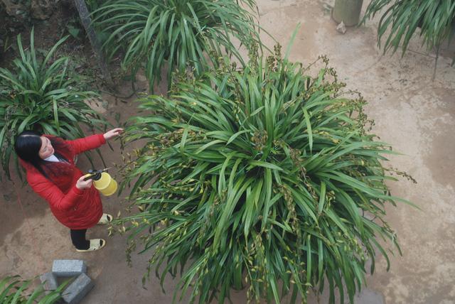 Những chậu hoa đẹp đã được các đại gia đặt mua từ trước đang gửi tạm nhà vườn Sa Pa để sát tết mới chuyển đi xuôi cho chủ mới.