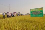 Lúa Thái Bình: Tăng năng suất nhờ phân bón Lâm Thao