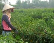 Giá ớt tăng cao kỷ lục, nông dân Trà Vinh lãi lớn