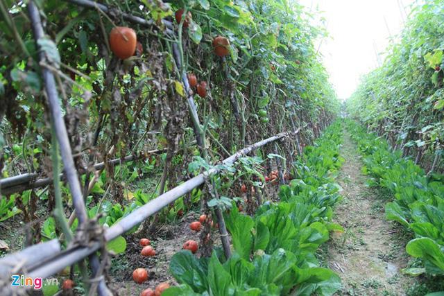 Vườn cà chua nhà ông Tịnh chín rụng đầy gốc nhưng không được thu hoạch. Ảnh: Hiếu Công.