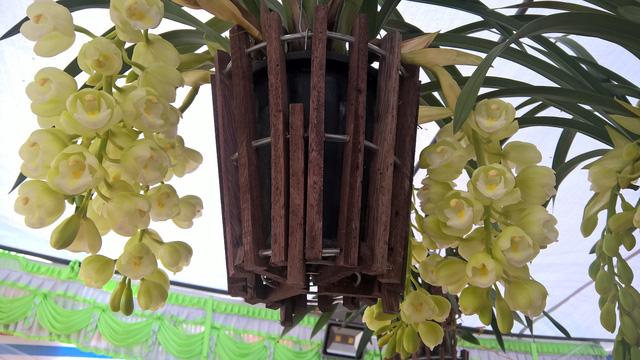 Ngoài địa lan, trồng chậu, khá nhiều địa lan treo có hình dạng bắt mắt, màu sắc hoa xanh cốm rất trang nhã.