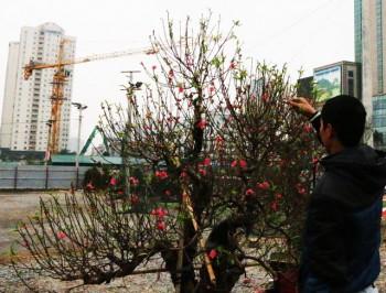 Đào thế giá đắt đỏ ở Hà Nội