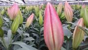 gia hoa tuoi tang manh