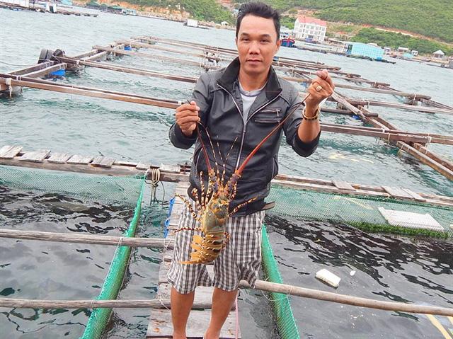 Vụ nuôi năm nay anh Huy thu hoạch tôm hùm lãi gần 3 tỷ đồng
