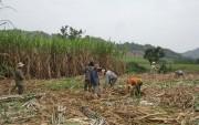 Tiêu thụ mía ở Phú Yên gặp khó khăn