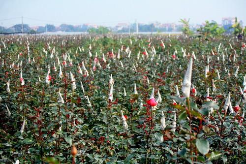 Giá hoa tươi tại làng hoa Tây Tựu tăng mạnh ngày cận Tết  - Ảnh 1.