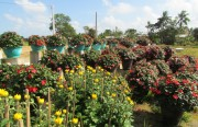 Thừa Thiên Huế: Các làng hoa nhộn nhịp đón Tết