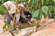 Hạn hán tiếp tục đe dọa mất mùa cà phê
