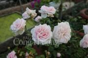 Thăm vườn hồng quý hiếm của nữ chủ nhân 9X