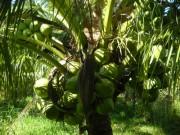30.000 đồng một trái dừa dứa