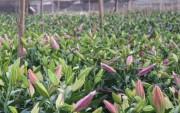 Giá hoa tươi tăng 'chóng mặt' dịp Tết