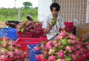 Xuất khẩu hơn 1.500 tấn thanh long qua Cửa khẩu quốc tế Lào Cai