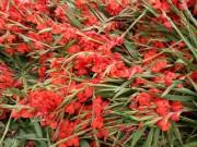 'Khóc' vì hoa lay ơn