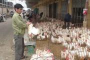 Hà Nội: Không để cúm gia cầm bùng phát