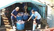 Thiếu cá tra nguyên liệu, doanh nghiệp gặp khó