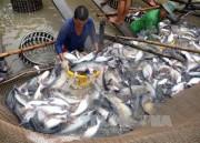 Giá cá tra nguyên liệu có xu hướng tăng