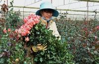 gia hoa hong da lat tang vot truoc ngay 83