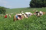 Chè Việt Nam XK bị trả lại: 'Đã nghèo còn neo'