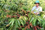 """Gỡ nút thắt cho tái canh cà phê: Cần """"khai thông"""" nguồn vốn"""