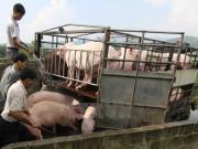Đàm phán xuất khẩu thịt lợn chính ngạch sang Trung Quốc