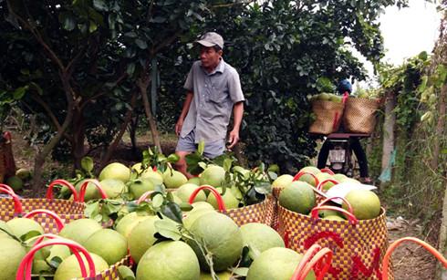 Nhà vườn tỉnh Tiền Giang thu hoạch bưởi da xanh bán giá cao.