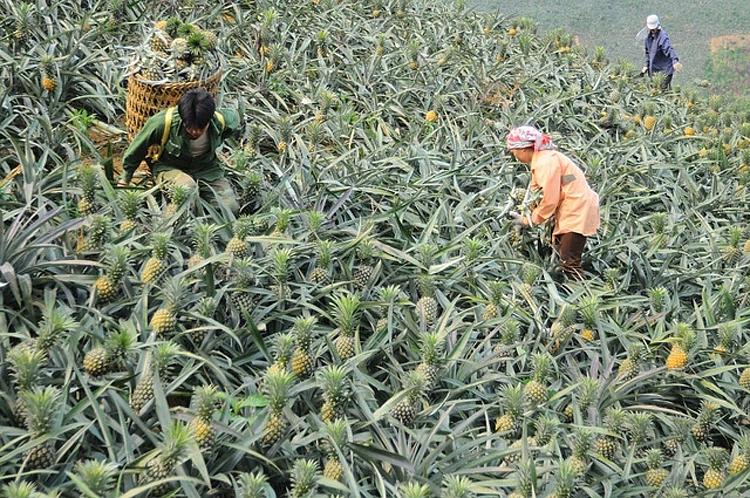 Dứa được mùa, được giá, nông dân thu lãi cao