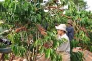 Sản xuất cà phê: Thích ứng với biến đổi khí hậu