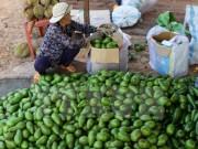 Giá bơ Đắk Lắk tăng hơn năm ngoái từ 5.000-8.000 đồng