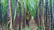 Ngành mía đường lao đao vì tồn kho và đường lậu