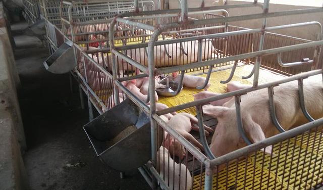Giá thịt lợn tăng cao: Cơ hội bình ổn ngành chăn nuôi - Ảnh 1.