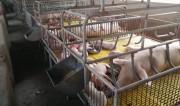 Giá thịt lợn tăng cao: Cơ hội bình ổn ngành chăn nuôi