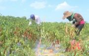 'Giải cứu' nông sản đến bao giờ ?