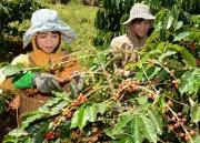 Giá cà phê Tây Nguyên cao nhất từ đầu vụ