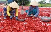 Giá ớt miền Tây giảm 10 lần, thương lái vẫn 'bặt tăm'