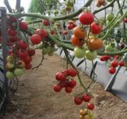 Lâm Đồng: Dịch bệnh hoành hành, cà chua Đà Lạt tăng giá mạnh