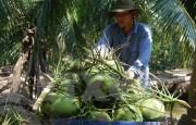 Bến Tre: Xây dựng chuỗi giá trị dừa xiêm xanh