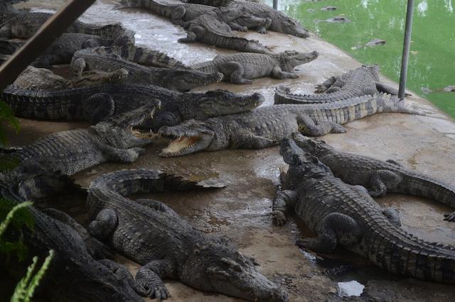 Giá cá sấu đã tăng trở lại nhưng người nuôi vẫn lo lắng khi đầu ra loại vật nuôi này phụ thuộc hoàn toàn vào thị trường Trung Quốc