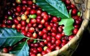 Giá cà phê thấp, bà con Tây Nguyên không mặn mà bán ra