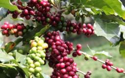 Giá cà phê tiếp tục giảm sâu